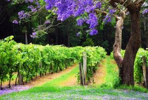 Bago Vineyards - St Kilda Accommodation